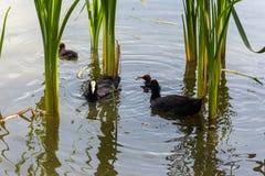 Vögel mit Brut auf dem Stadtsee lizenzfreie stockfotos