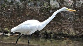 Vögel, populär bekannt als Vögel oder Vögel Lizenzfreie Stockbilder
