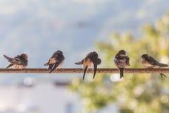 Vögel (Schwalben) auf einer Querlatte Lizenzfreie Stockfotos
