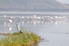 Vögel am See Nakuru, Kenia lizenzfreie stockfotos