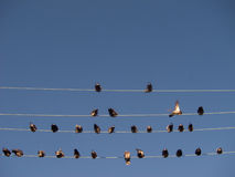Vögel sitzen auf Drähten Stockfotografie