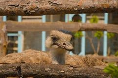 Vögel, Straußfamilie lizenzfreie stockfotos
