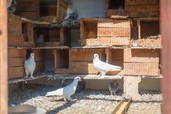 Vögel, Tauben im Taubenschlag Stockbild
