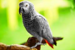 Vögel, Tiere Afrikaner Grey Parrot, Jako Reise, Tourismus siamesisch lizenzfreies stockfoto