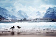 Vögel und Bergspitze auf Lofoten setzen im Frühjahr Jahreszeit, Norwa auf den Strand Stockfotografie