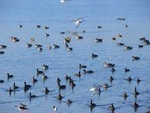 Vögel und Enten am Randarda See, Rajkot, Gujarat Stockbilder