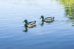 Vögel und Tiere in den wild lebenden Tieren Erstaunliche Stockentefamilienansicht Stockfotografie