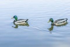 Vögel und Tiere in den wild lebenden Tieren Erstaunliche Stockentefamilienansicht Stockfotos