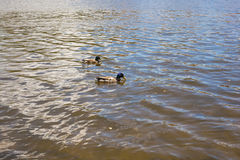 Vögel und Tiere in den wild lebenden Tieren Lustige Stockente schwimmt im See oder im Fluss mit blauem Wasser Lizenzfreies Stockfoto
