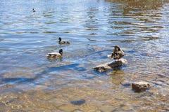 Vögel und Tiere in den wild lebenden Tieren Lustige Stockente schwimmt im See oder im Fluss mit blauem Wasser Lizenzfreie Stockbilder