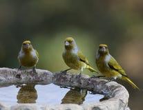 Vögel von Afrika Lizenzfreie Stockbilder