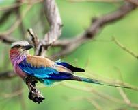 Vögel von Afrika: Lilacbreasted Rolle Stockbild