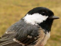 Vögel von Europa und von Welt - Kohle Tit stockfoto