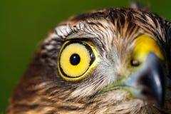 Vögel von Europa und von Welt - Spatz-Falke Lizenzfreies Stockbild