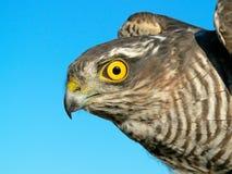 Vögel von Europa und von Welt - Spatz-Falke Stockbild