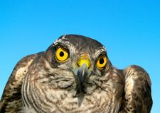Vögel von Europa und von Welt - Spatz-Falke Stockfotografie