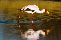 Vögel von Tanzania Lizenzfreie Stockbilder