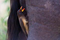 Vögel von Tanzania Stockfoto