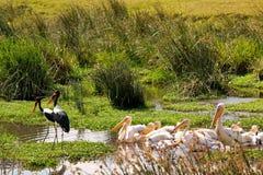 Vögel von Tanzania Lizenzfreies Stockfoto