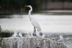 Vögel: Weißer Reiher mit Seemöwen Lizenzfreie Stockfotografie