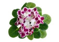 Blühende violette Blume stockbild
