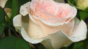 Völlig geöffnetes Elfenbein Rose, Grün-Blätter und lange Stämme lizenzfreie stockbilder