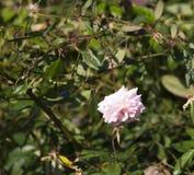 Völlig geblasener Mademoiselle Cecile Brunner blaß - rosa polyantha Schatz Rose stockfoto