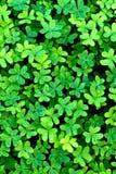 växt av släkten Trifolium Arkivfoton