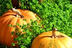 växt av släkten Trifoliumfältpumpor Royaltyfri Bild