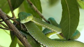 V?bora de hoyo del verde de Vogeli almacen de video