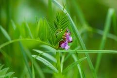 Vicia cracca Green background Stock Photos
