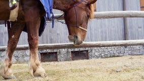 V?deo a c?mara lenta del hd completo de un caballo rojo que come y que mastica la hierba mientras que espera almacen de metraje de vídeo