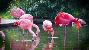 V?deo de HD dos flamingos que est?o na ?gua, bicos de naufr?gio na ?gua que procura o alimento ? perto acima de video filme