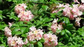 V?deo del cierre brillante del rododendro para arriba, flores frescas de la primavera almacen de video