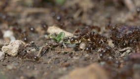 V?deo macro de las hormigas almacen de metraje de vídeo
