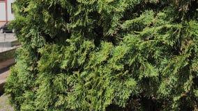V?deo verde hermoso de la cantidad de la acci?n del Thuja de las ramas de ?rbol