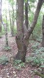 V format träd i skogsmark Fotografering för Bildbyråer
