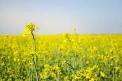 v?ldta Rapsfröfält under blomning Blomk?l, kinak?l och k?l p? tr?sk?rbr?da Oljefrökultur Jordbruk lantbruk royaltyfri foto