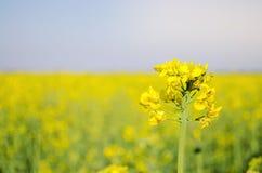 v?ldta Rapsfr?f?lt under blomning Blomk?l, kinak?l och k?l p? tr?sk?rbr?da Oljefr?kultur Jordbruk lantbruk arkivbild