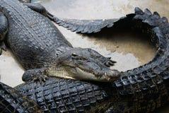 V?ntande p? matning P? en krokodillantg?rd i Thailand royaltyfria bilder