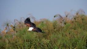 Vôo africano da águia de peixes Imagens de Stock Royalty Free