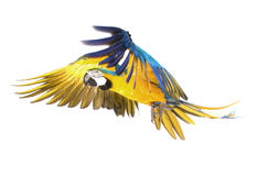 Vôo brilhante do papagaio do ara Foto de Stock Royalty Free