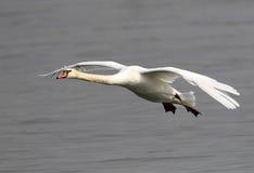 Vôo da cisne muda Imagem de Stock
