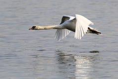 Vôo da cisne muda Fotos de Stock