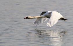 Vôo da cisne muda Fotografia de Stock