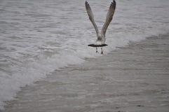 Vôo da gaivota baixo Fotografia de Stock Royalty Free