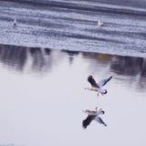 Vôo da gaivota sobre a água Foto de Stock Royalty Free