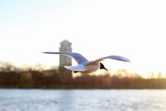 Vôo da gaivota sobre a água fotos de stock