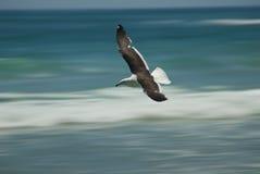 Vôo da gaivota sobre ondas Fotografia de Stock Royalty Free