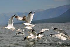 Vôo das gaivotas Imagens de Stock